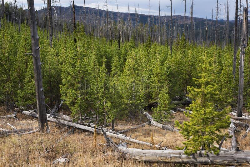 Nouvelle croissance de forêt de pin après des dégâts causés par le feu photo stock