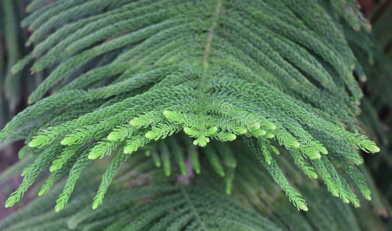 Nouvelle croissance sur une branche de pin de l'Île Norfolk image stock