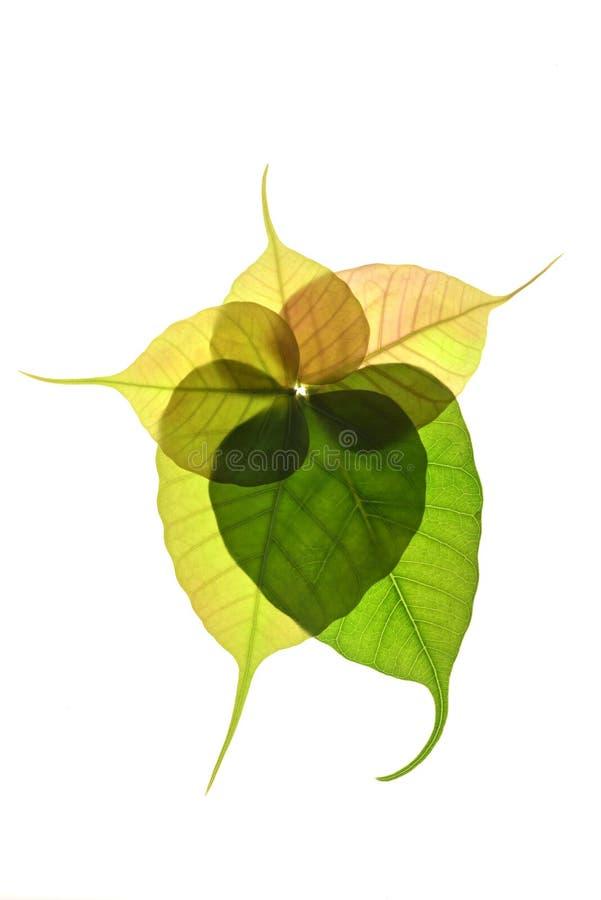 Nouvelle feuille en forme de coeur d'arbre peepal photos libres de droits