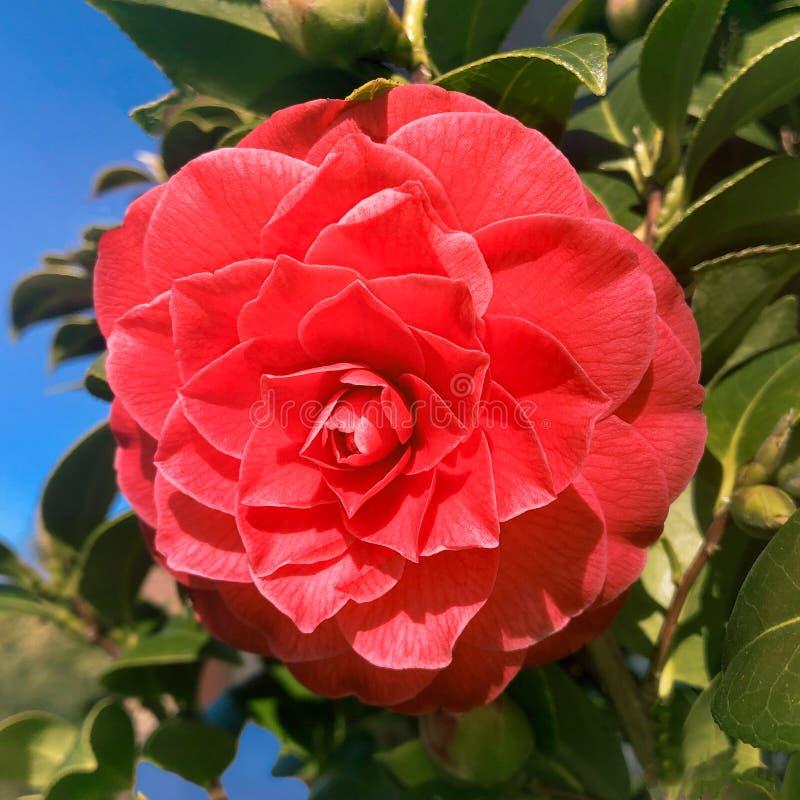 Nouvelle fleur rouge rosâtre de camélia fleurissant au début du ressort images libres de droits