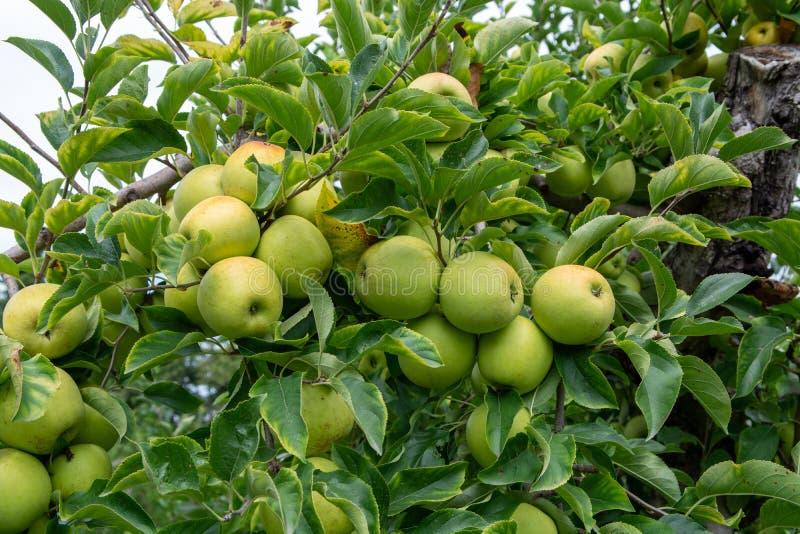 Nouvelle récolte des fruits sains, pommes vertes douces mûres s'élevant sur le pommier images stock