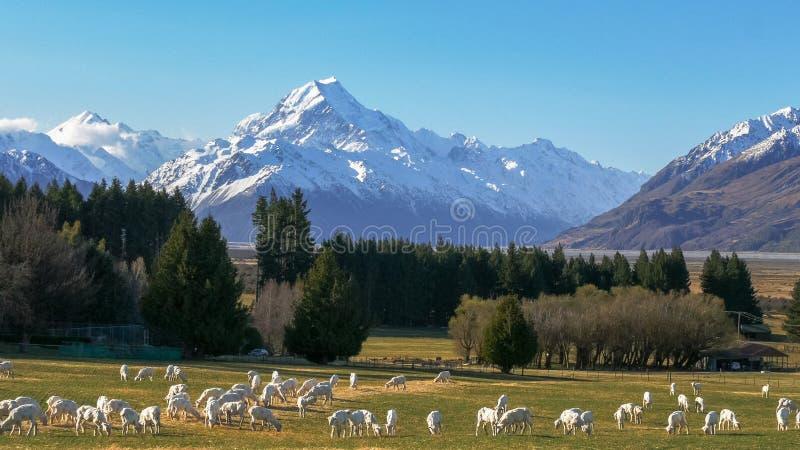 Nouvellement les moutons tondus frôlent avec le cuisinier du mt de la Nouvelle Zélande dominant dans la distance images libres de droits