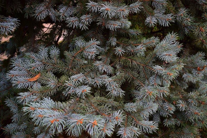 Nouvelles branches envahies bleues d'un arbre vert pendant l'hiver avant la nouvelle année photos libres de droits