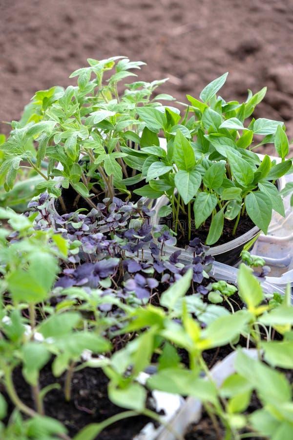 Nouvelles jeunes jeunes plantes de diff?rentes usines pr?tes pour planter dans la terre photos libres de droits