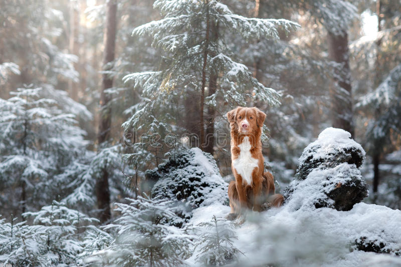 Nova Scotia Duck Tolling Retriever breed of dog in the woods in nature, winter season stock image