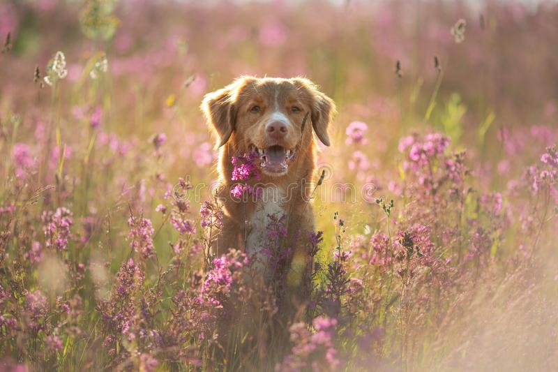Nova Scotia Duck Tolling Retriever Dog in a field of flowers. Happy pet in the sun, po stock photography