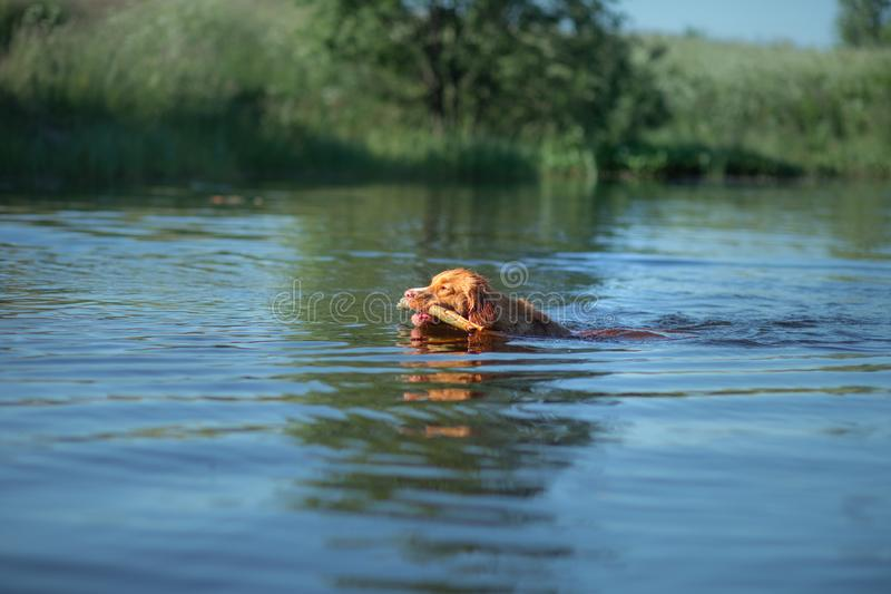 Nova Scotia Duck Tolling Retriever Dog plays in the water. Pet at the lake. Animal in nature. Red Nova Scotia Duck Tolling Retriever Dog plays in the water. Pet stock image