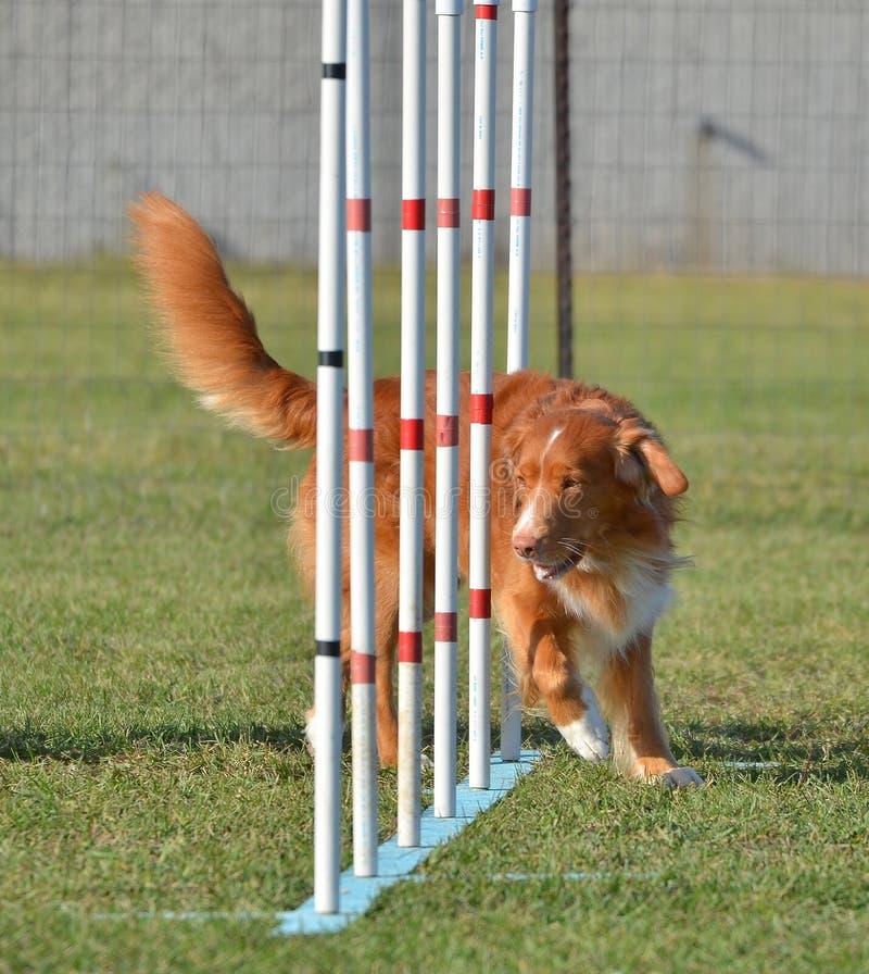 Nova Scotia Duck Tolling Retriever em uma experimentação da agilidade do cão imagens de stock royalty free