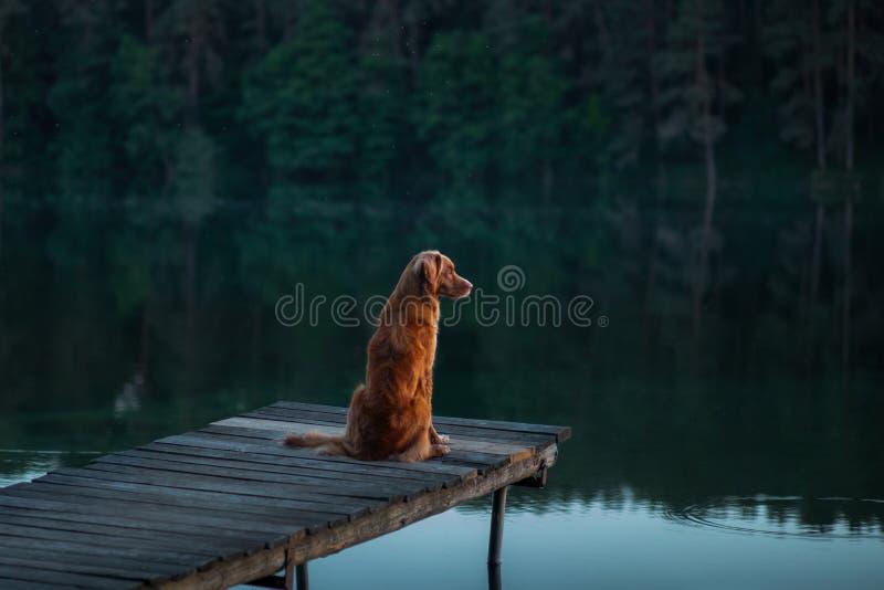 Nova Scotia Duck Tolling Retriever-Hund in der Natur, die auf Holzbrücke sitzt und den See betrachtet stockfotos