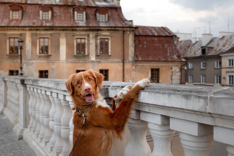 Nova Scotia Duck Tolling Retriever hund i staden Lopp med ett husdjur gammal stad fotografering för bildbyråer