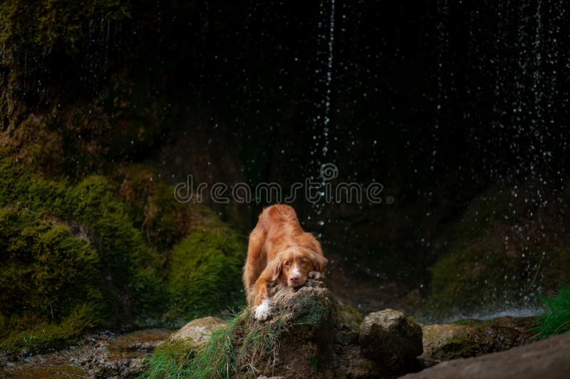 Nova Scotia Duck Tolling Retriever, Toller standing on a stone at the waterfall. dog near the water in nature. Pet Travel. Ing royalty free stock photo