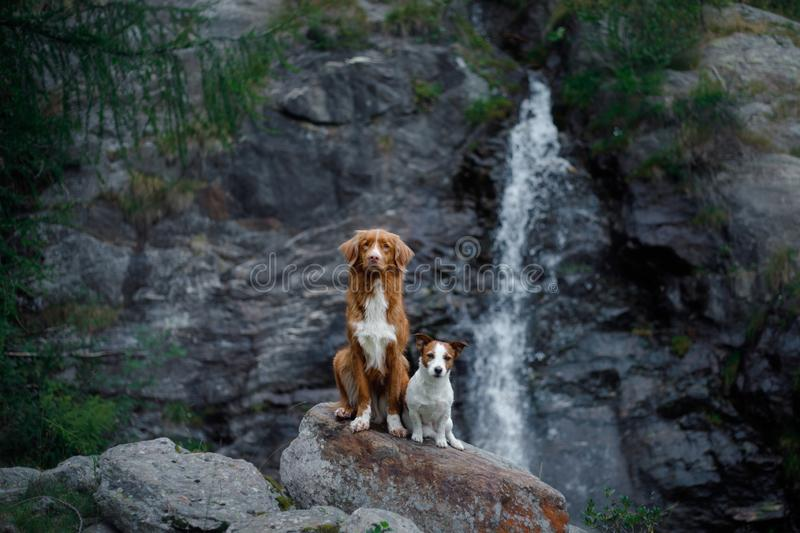 Nova Scotia Duck Tolling Retriever, Toller standing on a stone at the waterfall. dog near the water in nature. Pet Travel. Ing stock photography