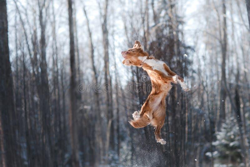 Nova Scotia Duck Tolling Retriever-Zuchthundehohes draußen springen lizenzfreie stockfotos