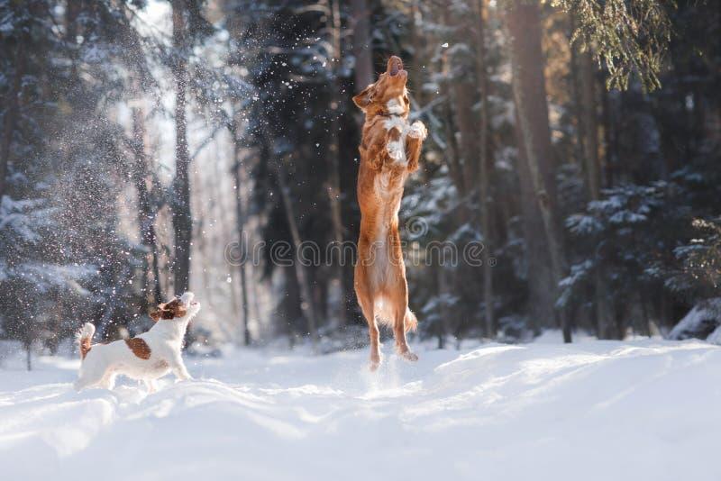 Nova Scotia Duck Tolling Retriever-Zuchthundehohes draußen springen stockbild