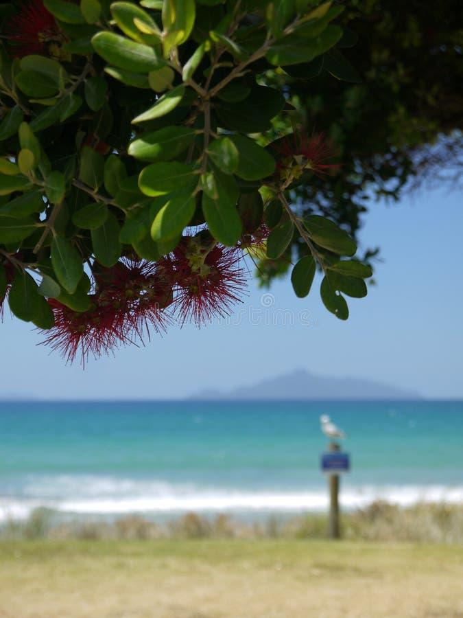 Nova Zelândia: árvore do pohutukawa da praia do verão foto de stock royalty free