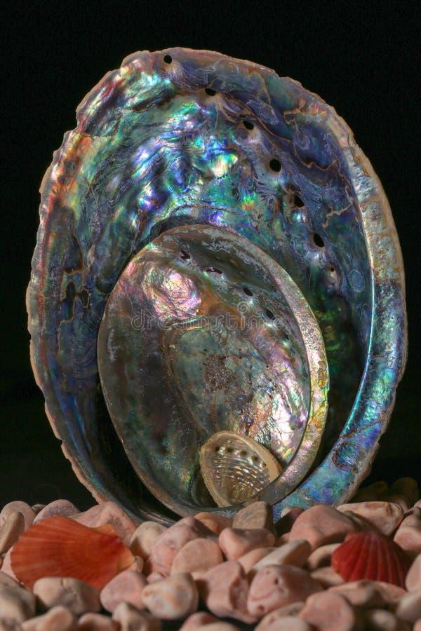 Nova Zelândia Paua/shell do olmo de tamanhos diferentes de grande a minúsculo foto de stock royalty free