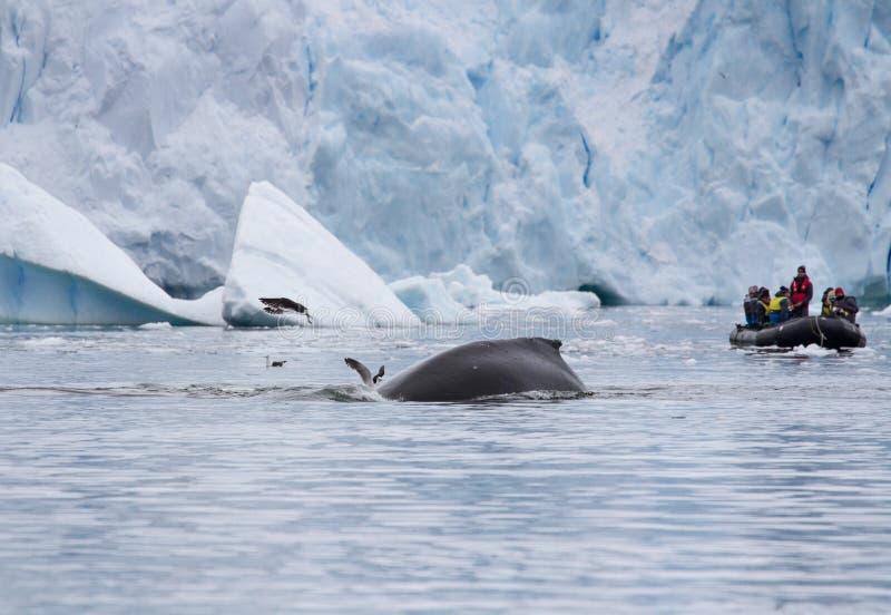 Novaeangliae ενός humpback φαλαινών Megaptera που βουτούν zodiac ή διογκώσιμη μια βάρκα που γεμίζουν μπροστά από με τους τουρίστε στοκ εικόνα