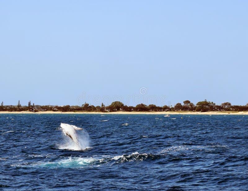 Novaeangliae del Megaptera della balena di Humpback fotografie stock