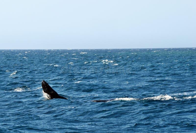 Novaeangliae del Megaptera della balena di Humpback fotografie stock libere da diritti