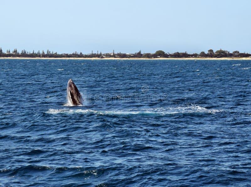 Novaeangliae del Megaptera della balena di Humpback fotografia stock