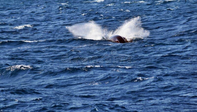 Novaeangliae del Megaptera della balena di Humpback immagine stock