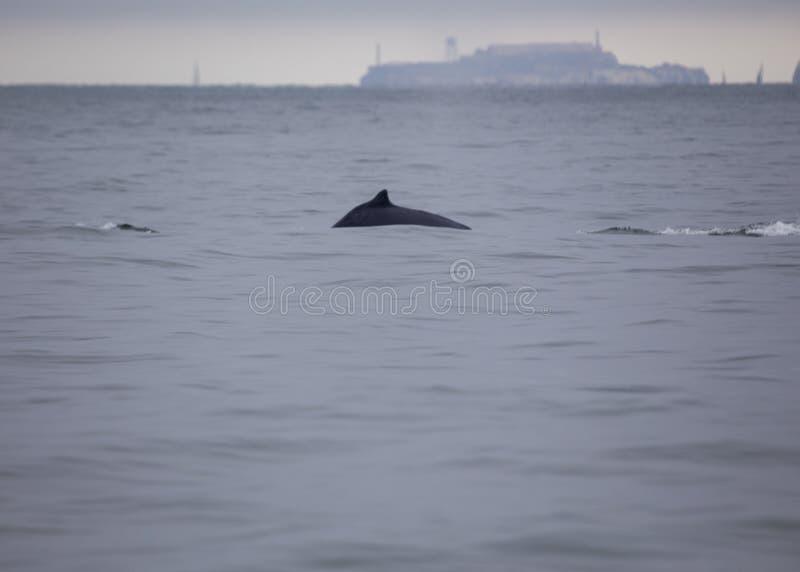 Novaeangliae del Megaptera della balena di Humpback fotografia stock libera da diritti