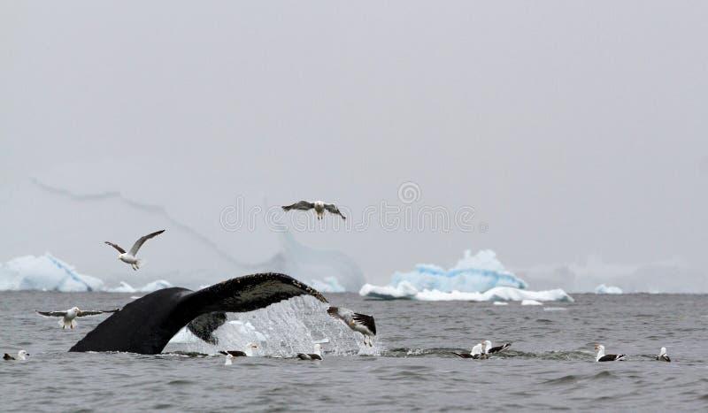 Novaeangliae Megaptera горбатого кита показывают свой кабель по мере того как он ныряет во время питаться, с красть dominicanus L стоковое фото