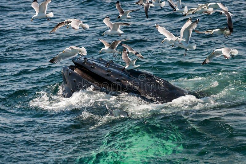 Novaeangliae van Megaptera van de Walvis van de gebochelde royalty-vrije stock afbeeldingen