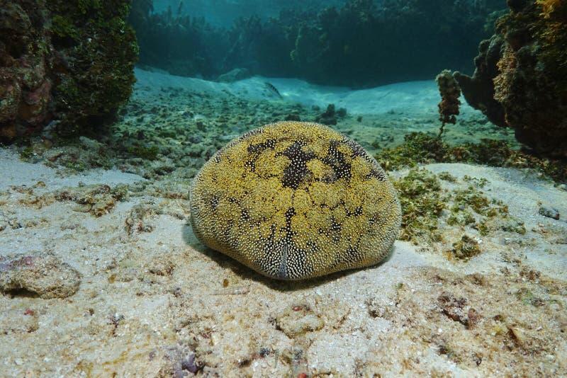 Novaeguineae de Culcita d'étoile de coussin d'étoiles de mer image libre de droits