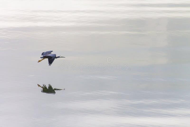 Novaehollandiae ενός άσπρα αντιμέτωπα ερωδιών Egretta στη χαριτωμένη πτήση στοκ φωτογραφία με δικαίωμα ελεύθερης χρήσης