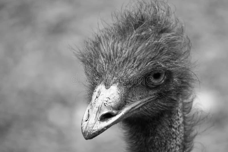 Novaehollandiae del Dromaius dell'emù capi e ritratto superiore del collo in BW immagini stock libere da diritti