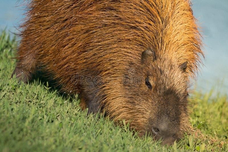 Novatada del Capybara por la orilla del lago fotografía de archivo libre de regalías