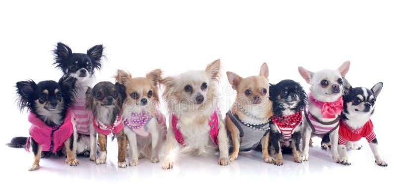 Nove chihuahuas imagens de stock royalty free