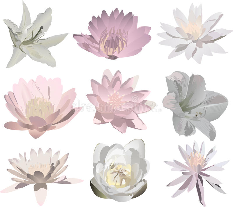 Nove flores isoladas luz do lírio ilustração stock