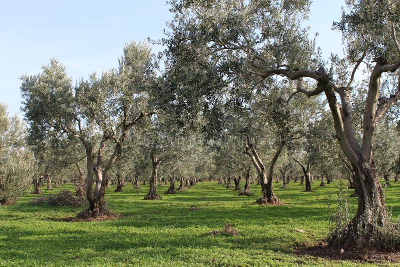 Olive trees and gardens. November harvest in olive gardens at canakkale deer stock photo