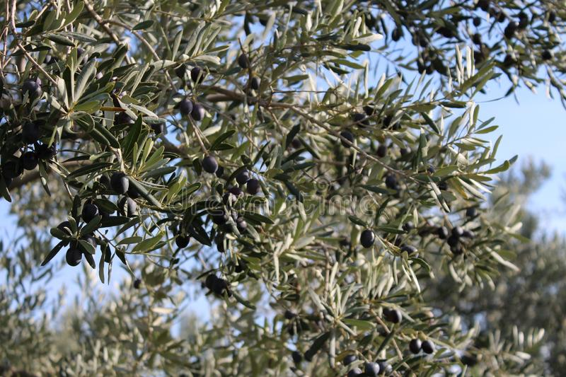 Olive tree and garden. November harvest in olive gardens at canakkale deer royalty free stock image