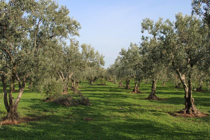 Olive tree and garden. November harvest in olive gardens at canakkale deer royalty free stock photo