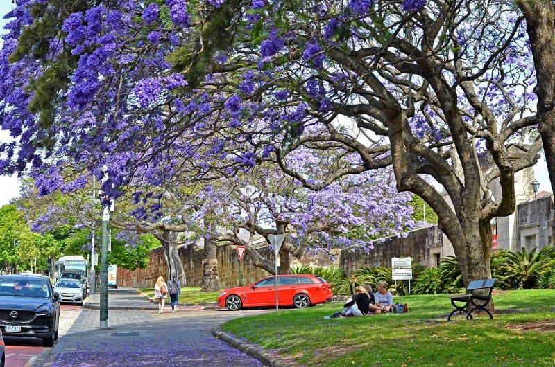 Jacaranda trees at full bloom at Paddignton suburb stock image