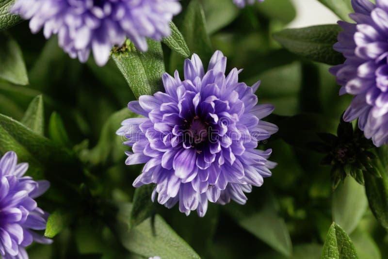 Novi-belgii de Symphyotrichum do áster de New York fotos de stock royalty free