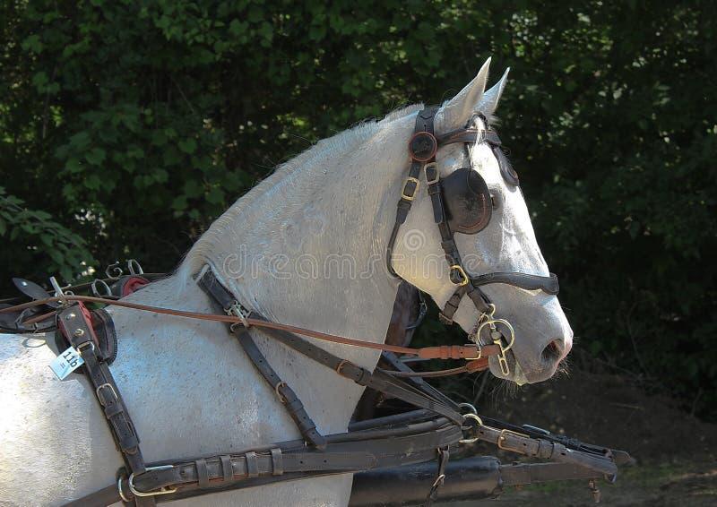 Novi Sad, Sérvia, 20 05 2018 justo, cavalo pronto para a competição imagem de stock royalty free