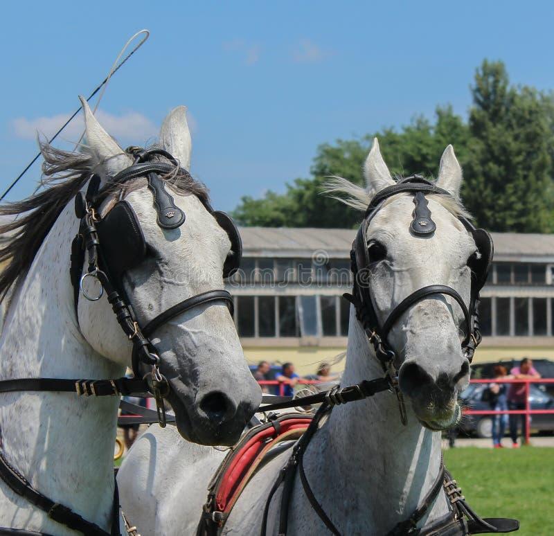 Novi Sad, Serbia, 20 05 2018 jarmark, dwa białego konia obraz royalty free