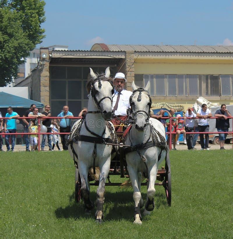 Novi Sad, Serbia, 20 05 2018 jarmark, stangret z dwa białymi koniami zdjęcia royalty free