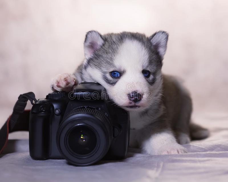 Novice photographer knows how to take photos. A husky puppy lying with a camera royalty free stock photo