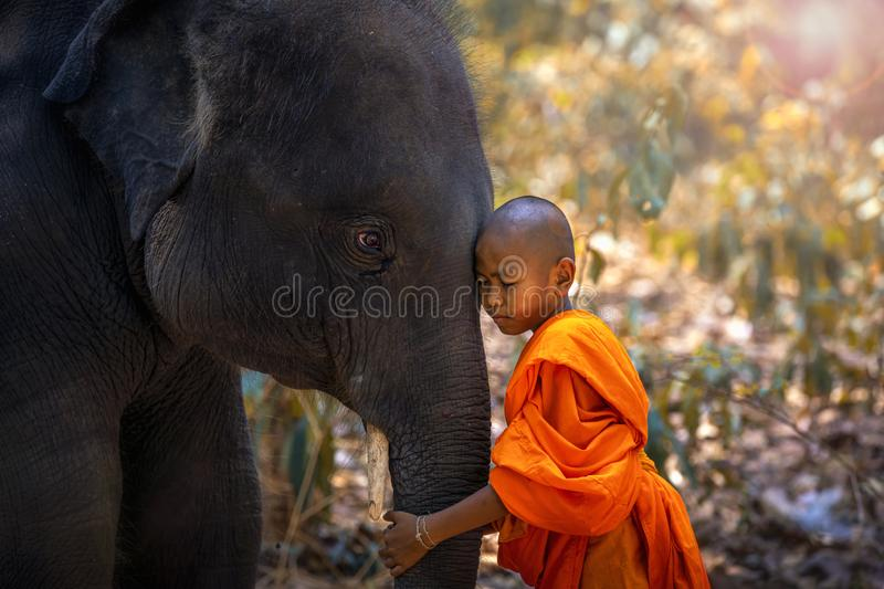 Novices or monks hug elephants. Novice Thai standing and big elephant with forest background. , Tha Tum District, Surin, Thailand royalty free stock images