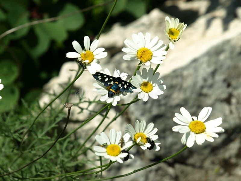 Novigrad, Croácia, borboleta, margaridas, campo, bonito, frente marítima, cidade, ricos, história imagem de stock royalty free
