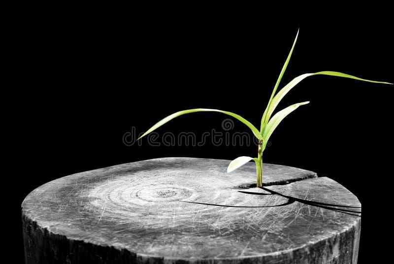 Novità e rinnovamento come concetto di affari di successo emergente di direzione come un vecchio albero tagliato e forte gro dell royalty illustrazione gratis