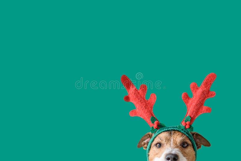 Novo ano e conceito de Natal com o cão vestindo galhardetes de renas fotos de stock royalty free
