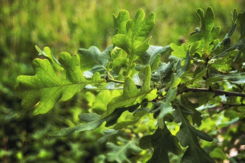 Novo ilumine - a folha verde do carvalho Fundo abstrato da natureza - folhas verdes do carvalho, sol brilhante foto de stock