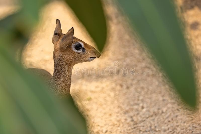 ` Novo s Dik-Dik de Kirk escondido no selvagem foto de stock royalty free