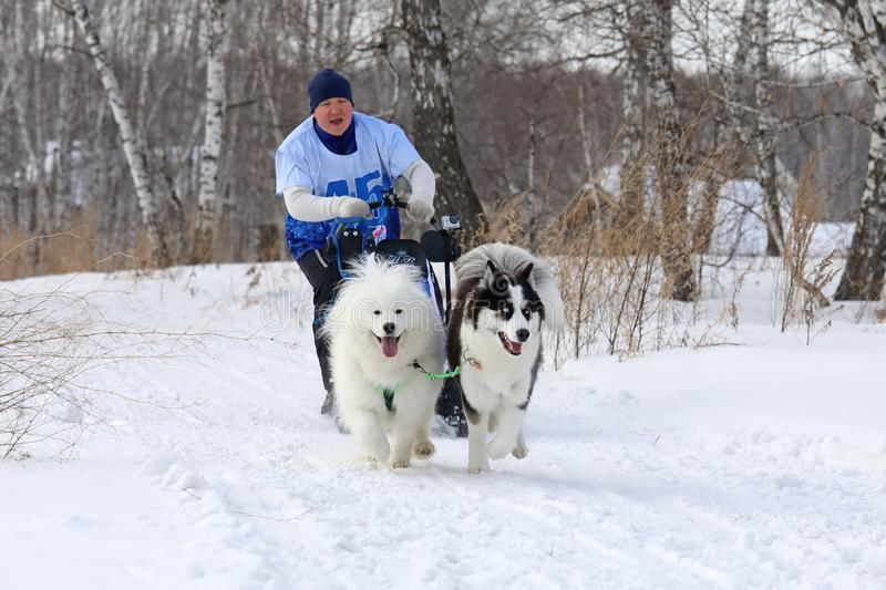 Samoyed husky and Siberian husky run in a team in Novosibirsk royalty free stock photo